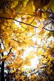 Foglie di giallo di caduta sull'albero Fotografie Stock Libere da Diritti