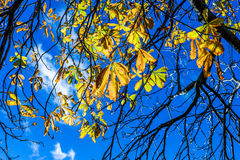 Foglie di giallo e del ramo nel fondo del cielo blu Fotografie Stock