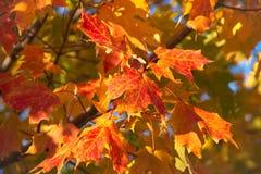 Foglie di giallo e dell'arancia Fotografie Stock