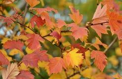 Foglie di giallo e dell'arancia in autunno Immagini Stock Libere da Diritti