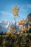 Foglie di giallo nel paesaggio alpino Immagine Stock Libera da Diritti