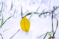 Foglie di giallo in neve Fotografie Stock Libere da Diritti
