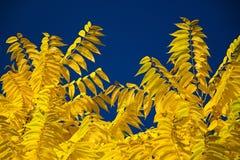 Foglie di giallo sotto un cielo blu profondo Immagine Stock