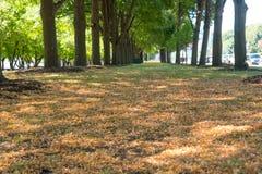 Foglie di giallo su un parco in Chicago fotografia stock