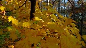 Foglie di giallo sui rami di albero che ondeggiano sul vento stock footage