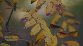 Foglie di giallo sul fondo della natura Fuoco selettivo video d archivio