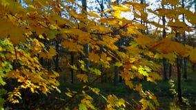 Foglie di giallo sul ramo di albero in Autumn Forest stock footage