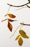 Foglie di giallo sull'albero, stagione di autum Fotografia Stock Libera da Diritti