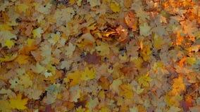 Foglie di giallo sulla terra in foresta video d archivio
