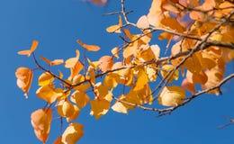Foglie di giallo di un albero di autunno contro un cielo blu come fondo Immagine Stock Libera da Diritti