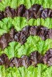 Foglie di insalata Fotografie Stock Libere da Diritti