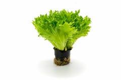 Foglie di insalata verde su bianco Immagine Stock