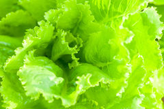 Foglie di lattuga verde Fotografia Stock