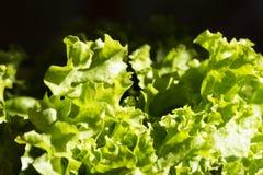 Foglie di lattuga verde nel giardino Fondo fresco dell'insalata a Immagine Stock