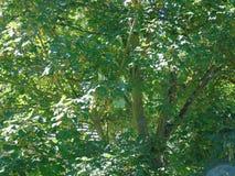Foglie di luccichio che luccicano nel vento d'ardore Immagini Stock Libere da Diritti