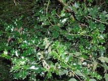 Foglie di luccichio in parco di Hertfordshire Immagini Stock