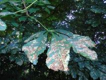 Foglie di luccichio in parco di Hertfordshire Fotografia Stock