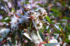 Foglie di mallee del sapone con i fiori Fotografia Stock Libera da Diritti
