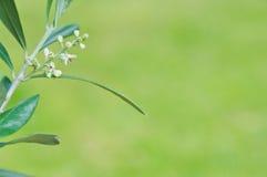 Foglie di oleaceae di olivo con fondo verde Fotografia Stock