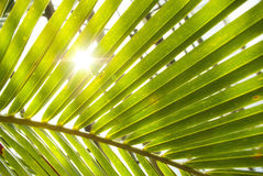 Foglie di palma Immagine Stock