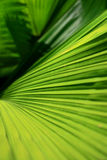 Foglie di palma Fotografie Stock