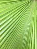 Foglie di palma Fotografie Stock Libere da Diritti
