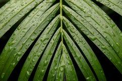 Foglie di palma di bambù dopo pioggia Immagini Stock