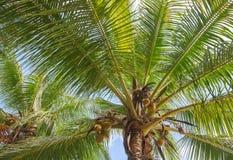 Foglie di palma della noce di cocco Fotografia Stock Libera da Diritti