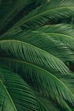 Foglie di palma dettagliate succose verdi Fotografia Stock