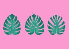 Foglie di palma esotiche Foglie di Monstera su fondo rosa millenial Tre foglie differenti di monstera Fotografia Stock