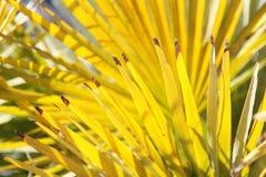 Foglie di palma gialle luminose Fotografia Stock