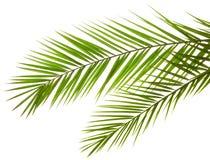 Foglie di palma isolate Fotografia Stock