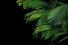 Foglie di palma, la pianta tropicale che cresce in selvaggio sul backgro nero Fotografie Stock Libere da Diritti