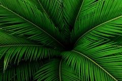 Foglie di palma modello verde, fondo tropicale astratto Fotografie Stock