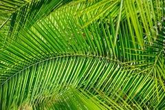 Foglie di palma (priorità bassa) Immagini Stock Libere da Diritti