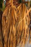 Foglie di palma secche Fotografia Stock