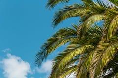 Foglie di palma sul fondo del cielo blu Fotografie Stock Libere da Diritti