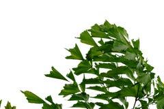 Foglie di palma tropicali della foresta pluviale con i rami su fondo isolato bianco per il contesto verde del fogliame fotografia stock libera da diritti