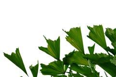 Foglie di palma tropicali della foresta pluviale su fondo isolato bianco per il contesto verde del fogliame immagine stock