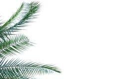 Foglie di palma tropicali su fondo isolato bianco per il contesto verde del fogliame fotografie stock