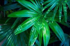 Foglie di palma tropicali su fondo scuro fotografie stock