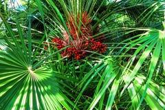 Foglie di palma verdi con frutta rossa nel sole Fotografia Stock Libera da Diritti
