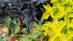 Foglie di porpora e verde chiaro in tempo soleggiato Fotografie Stock Libere da Diritti