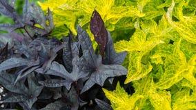 Foglie di porpora e verde chiaro in tempo soleggiato Fotografia Stock Libera da Diritti