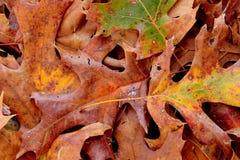 Foglie di recente cadute della quercia in autunno Immagini Stock