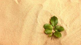 Foglie di Rosa con le gocce di acqua sulla sabbia Immagine Stock Libera da Diritti