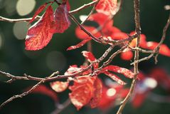 Foglie di rosso Fotografia Stock Libera da Diritti