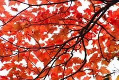 Foglie di rosso di autunno Fotografie Stock Libere da Diritti