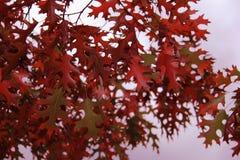 Foglie di rosso in autunno Immagini Stock Libere da Diritti