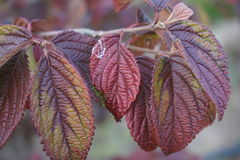 Foglie di rosso in autunno Fotografia Stock Libera da Diritti